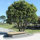 Seating and planting around an existing pohutukawa enhanced with a contrast concrete band